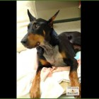 Kenny – A Paralyzed Doberman Learns To Walk Again