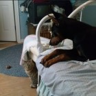 Rokks the Doberman tries to hide her bone from the cats