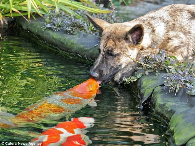 Dog Develops Unique Friendship with Family's Koi Fish