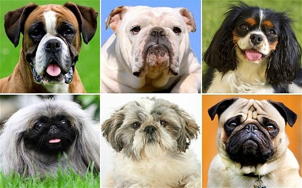 "Vets Calling for Ban on ""Unhealthy"" Breeds"
