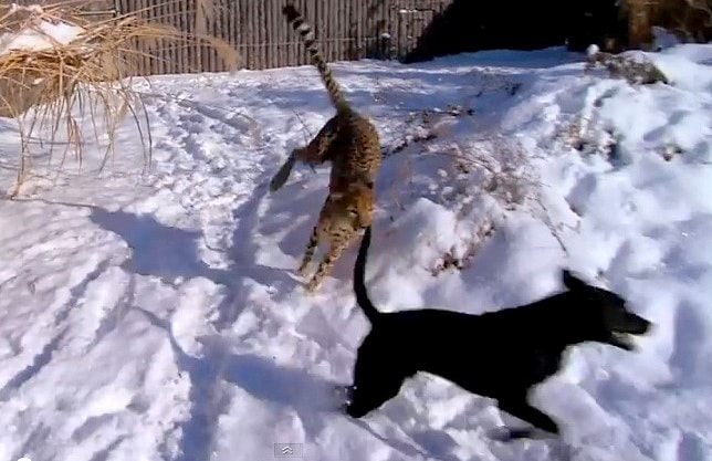 Dog and Cheetah Frolic in the Snow