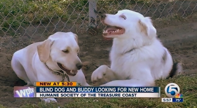 Blind Dog and Her Guide Dog Need a Home