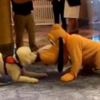 Service Dog Captivated by Meeting Pluto