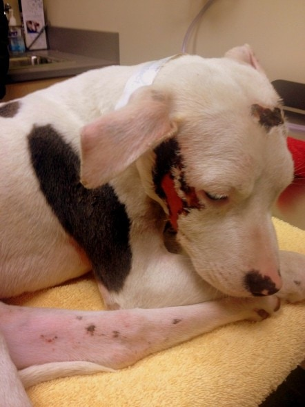 12.25.13 - Pit Bull Survives Being Struck by Car - Twice6