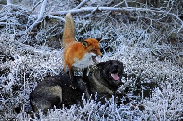 12.5.13 - The Fox and the Hound2