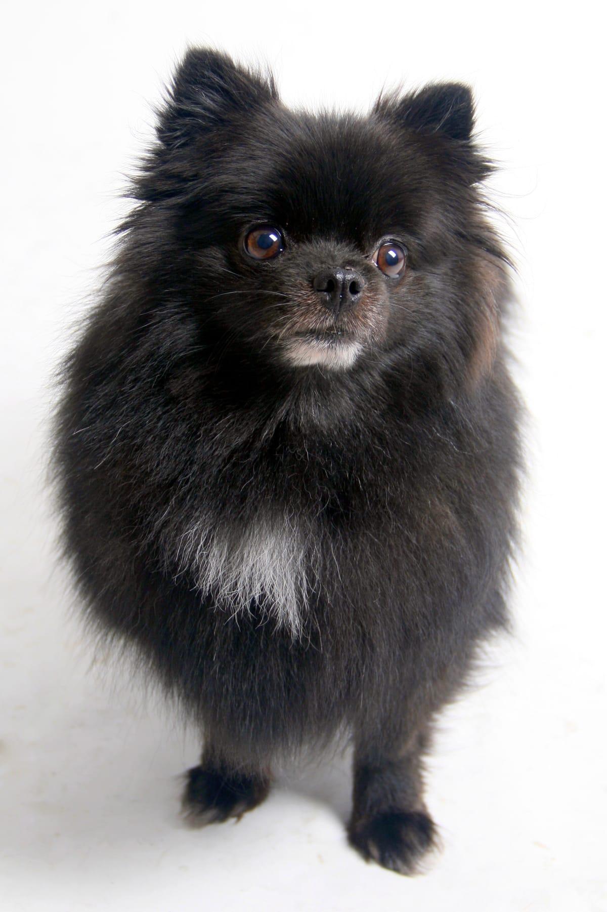 Pomeranian Faces Brighter Future After Life Saving Surgery
