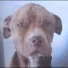 Detroit Rescue Community Joins Forces in Support of Rescued Pit Bull