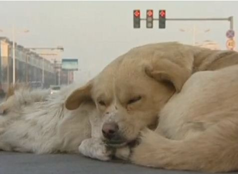Dog Faithfully Guards the Body of His Friend