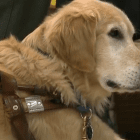 Guide Dog Walks at Graduation with College Student
