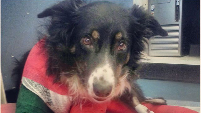 Community Raises Money to Save Veteran's Dog Injured by a Plow Truck