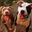 Two Midwest Towns Lift Pit Bull Bans