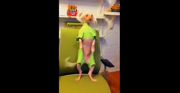 Nathan the Chinese Crested Dances to Anything