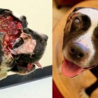 Mauled Dog Rescued, Recovers & Is Ready for a Home