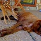 Orphan Fawn Nursed & Raised by Chocolate Lab