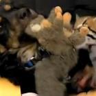 Gentle Dog Plays with Rambunctious Ocelot Kitten