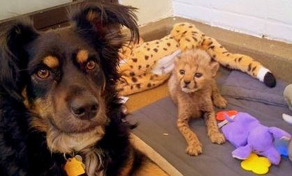 Australian Shepherd Fosters Baby Zoo Animals
