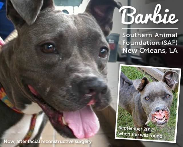 Barbie, Former Bait Dog Still Looking for Forever Home