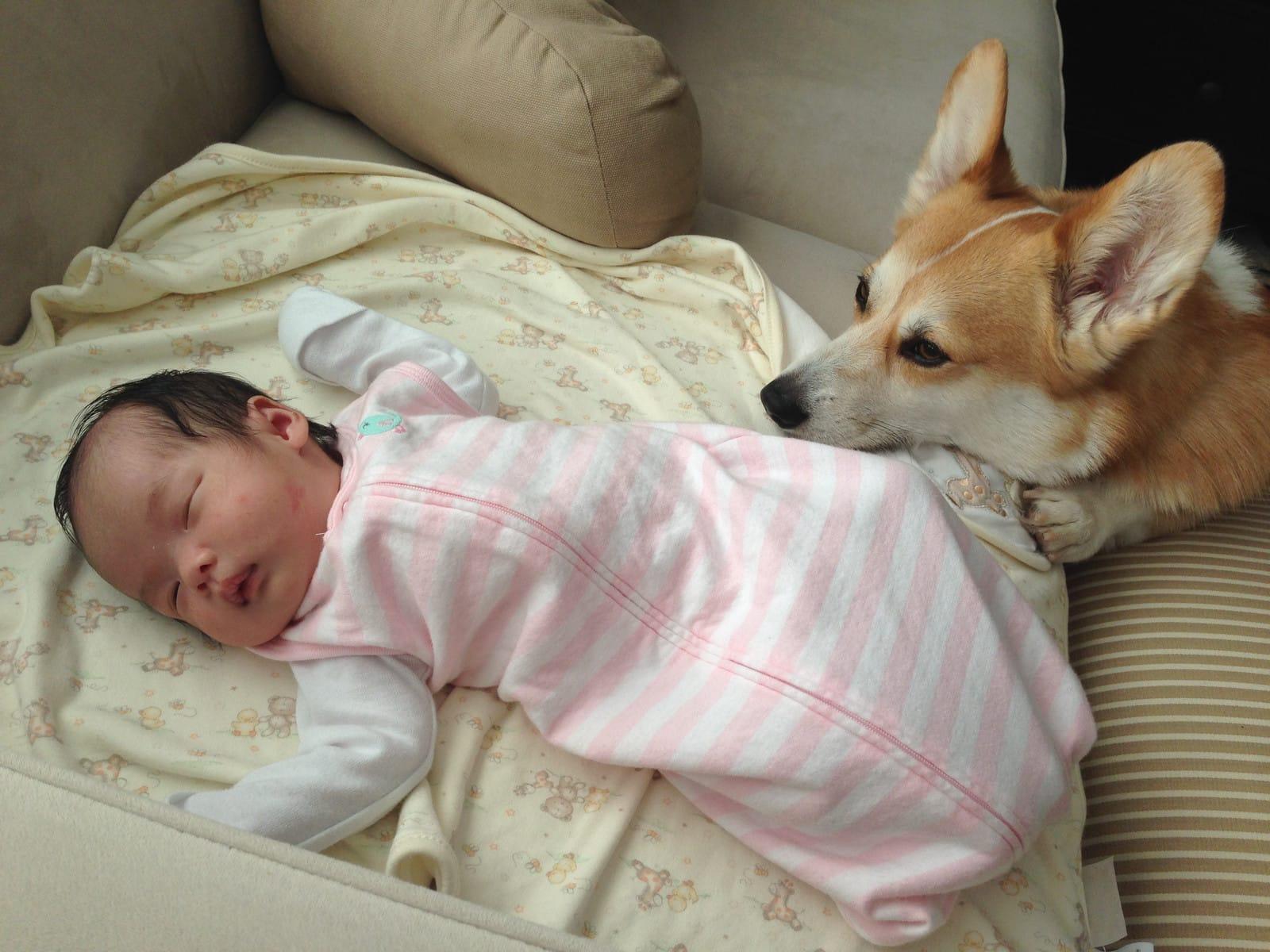 Corgi Becomes Newborn's Best Friend