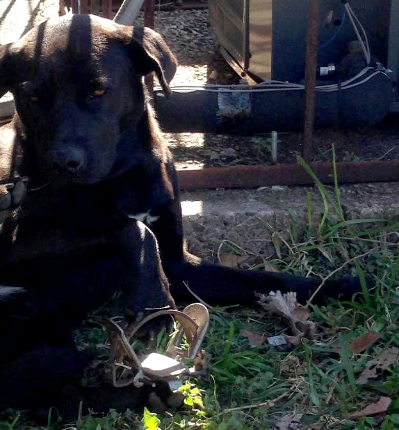 Homeless Dog Found with Leg Caught in Metal Trap