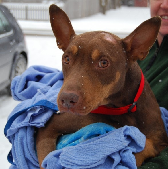 Madison after being found in Chicago. Photo Credit: Illinois Doberman Rescue Plus