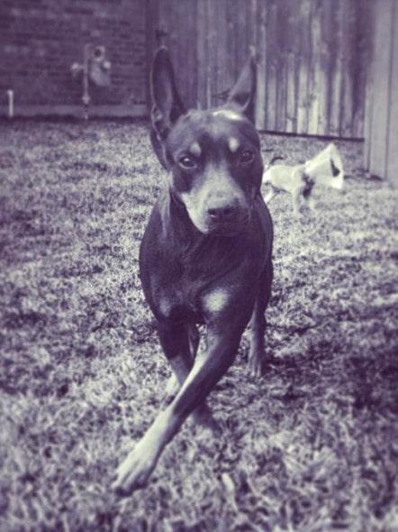 Madison when rescued in Texas. Photo Credit: Illinois Doberman Rescue Plus