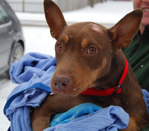 Runaway Doberman Lost for Six Days in Chicago is Found