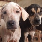 Two Thai Dogs Rescued on Organization's Anniversary