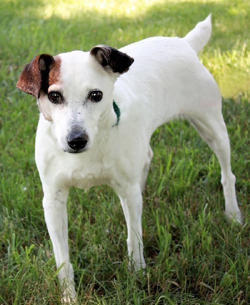 Jack Russell Terrier Holds Out Hope After Repeated Rejection