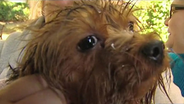 Firefighters Rescue Yorkie from Drain Pipe