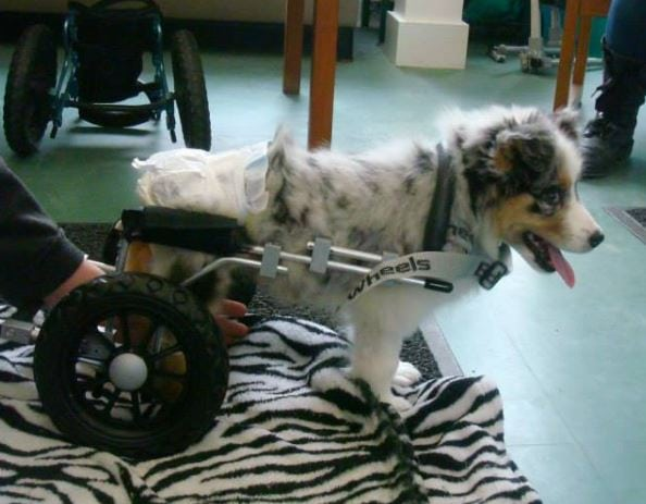 Abby's Wheels: Aussie Pup Walks for the first Time