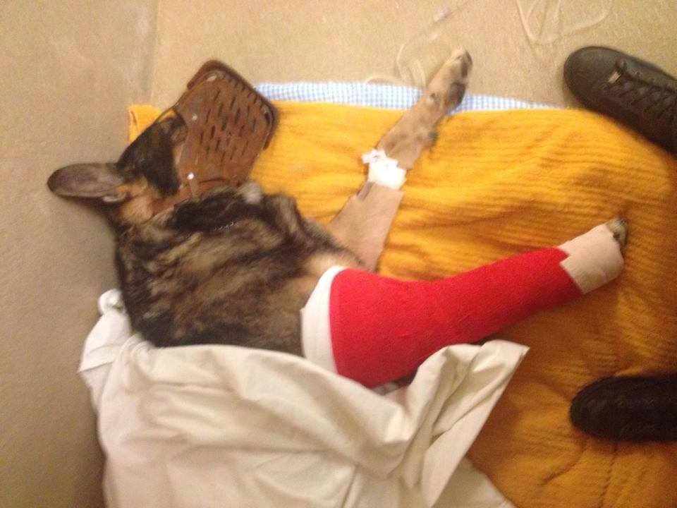 Police Dog Breaks Leg and Continues to Apprehend Suspect