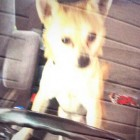Chihuahua Takes Owner's Car for a Joyride