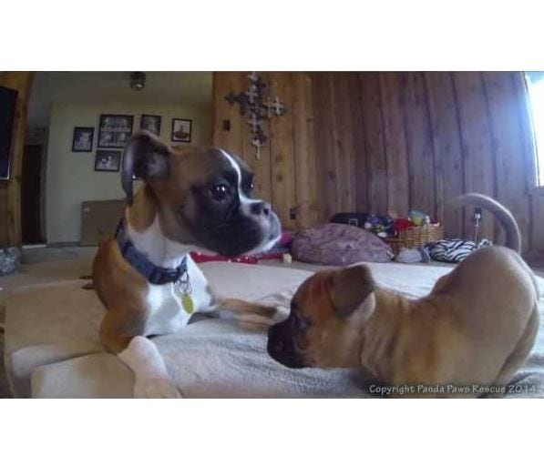 Annie and Duncan Lou Who – Two Legged Boxers