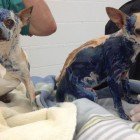 Two Chihuahuas Covered In Glue Need Your Help