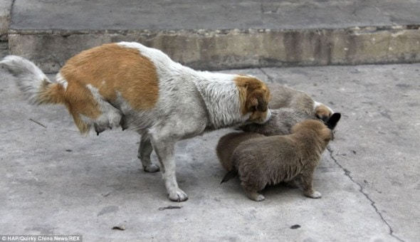 Shi Bao with her puppies on the streets of China.