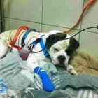Toronto Dog Survives Shooting