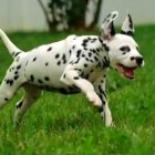 Dalmatian Puppies – Too Cute