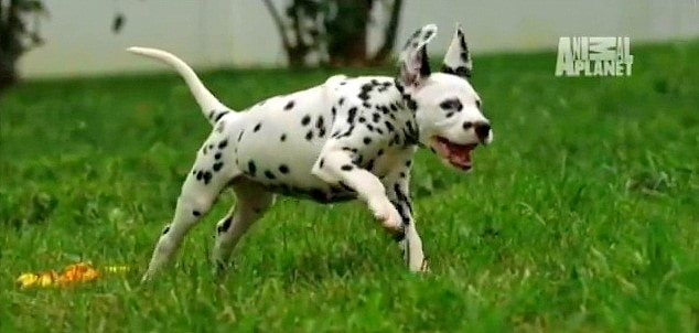 Dalmatian Puppies Too Cute Life With Dogs