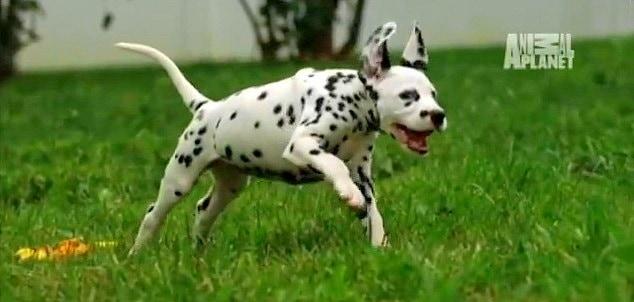 Dalmatian Puppies – Too Cute