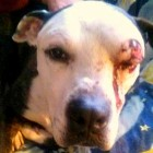 Dog Thrown from Truck Recovering & Needs a Home