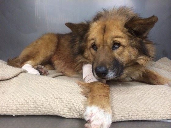 Dog is Shot While Saving Owners and Now Needs Critical Surgery