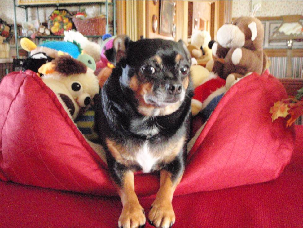 Chihuahua Reported Dead Now Enjoying Second Chance at Life