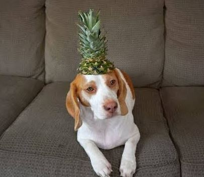 Dog vs. Pineapple: Cute Dog Maymo