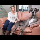 Freddie the Great Dane: Britain's Biggest Dog