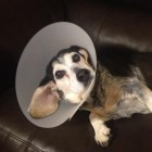 Dog Narrowly Survives Coyote Attack