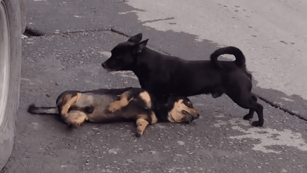 Small Dog Tries to Revive His Canine Best Friend