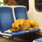 Four-Legged Train Passenger Leaves Forever Home and Returns to Foster Family