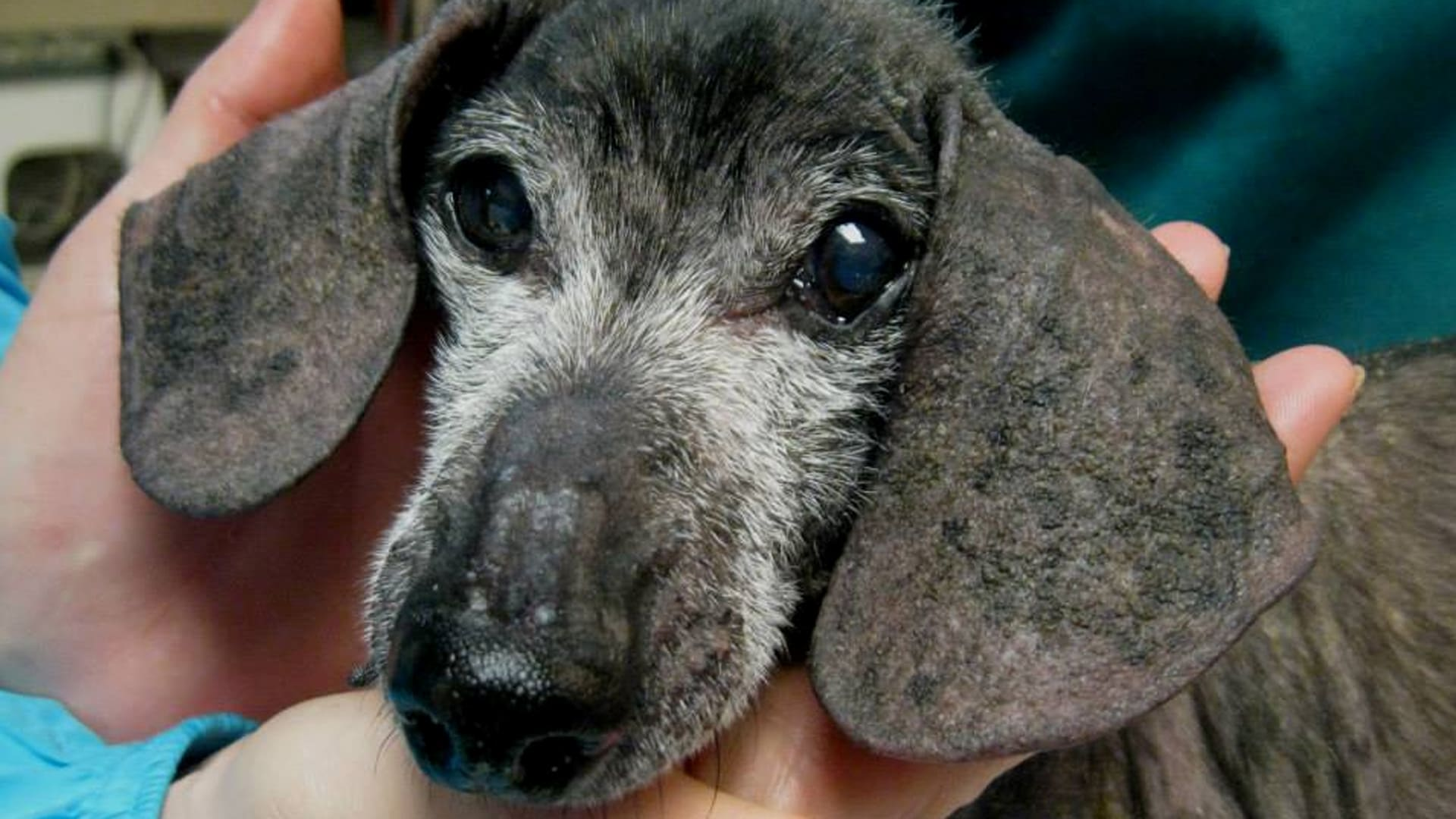 Harley the Abandoned Senior Dog Gets Second Chance in Life