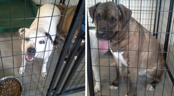 Pit bull/lab mix (left) and the Mastiff (right) that Reverend Wayne DeVrou rescued from an icy pond.