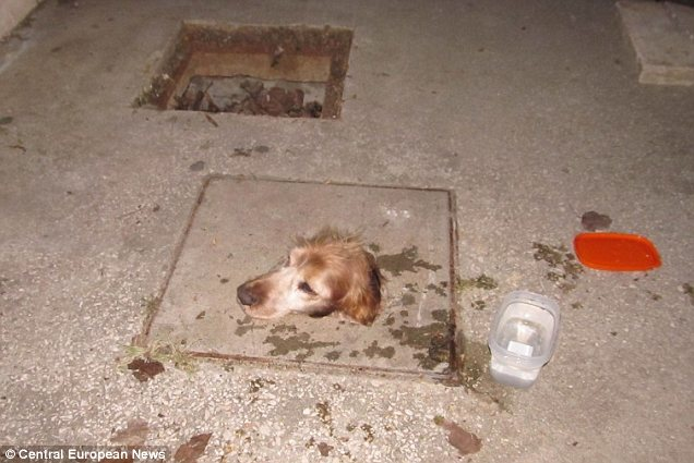 Dog with Head Trapped in Manhole Cover Gets Rescued